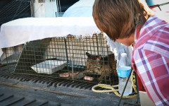 Dylan Holden examines the bobcat in the back of Dallas Smith's truck last Friday.